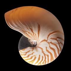 Chambered nautilus , isolated  with clipping path