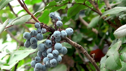 blue berry on the bush