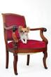 chihuahua sur fauteuil ancien