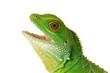 Lizzard Gecko Echse Reptil agame wasseragame