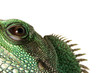 Lizzard Gecko Echse Reptil agame wasseragame auge