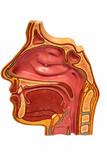 Fototapety Sinus section