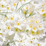 White Crocus flowers (wedding background)