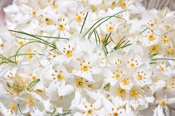 White Crocus flowers (wedding background)