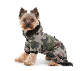 yorkshire terrier with camo jacket