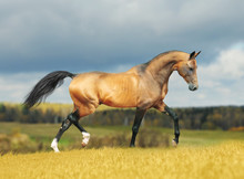 Or cheval frison