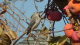 A Northern Mockingbird (Mimus Polyglottos) eating a persimmon