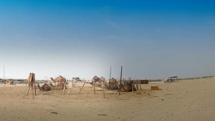 Camels farm panorama