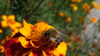 honey bee pollinate