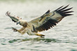 sea eagle spread his wings ready to attack his prey