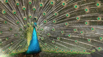 peacock opening