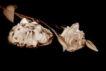 Eustoma flower (lisianthus)