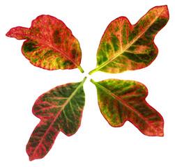 Vier bunte Blaetter der Zimmerpflanze Croton