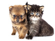 puppy  spitz-dog and kitten