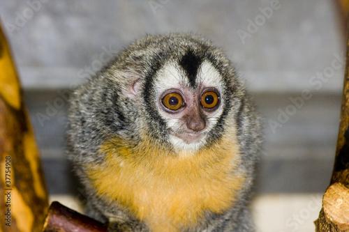 Papiers peints Chouette Southern owl monkey or Azara's night monkey (Aotus azarae)