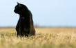 Silhouette of black cat at sunset