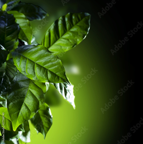 Green Leaves. Coffee Arabica Plant isolated on black