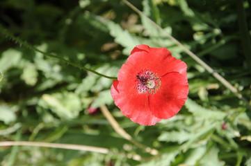 Flor amapola