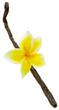 fleur de frangipanier sur gousse vanille Bourbon