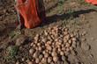 coltivazione di patate