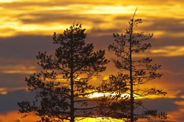 Pine trees  silhouette