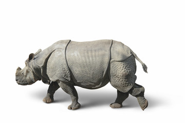 rhinoceros in white back
