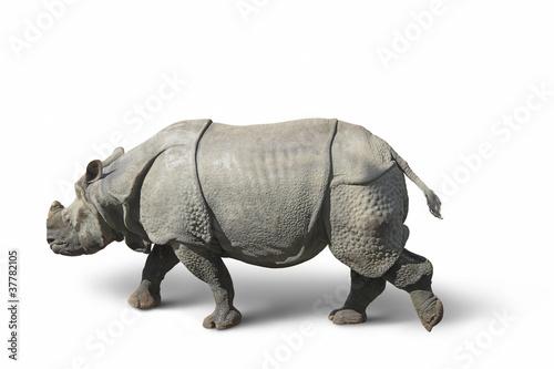 In de dag Neushoorn rhinoceros in white back