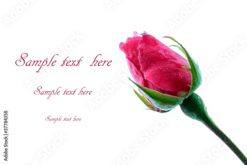 Rose bud on white background