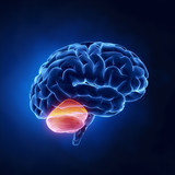 Cerebellum part - Human brain in x-ray view poster