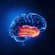 Temporal lobe - Human brain in x-ray view