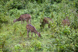Wild deers (sambars or axis axis) in  India poster
