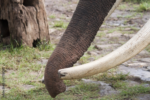 Detail of an elephant's trunk