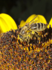 Honey bee pollinating the sunflower