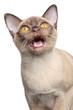 Chocolate Burmese cat mews