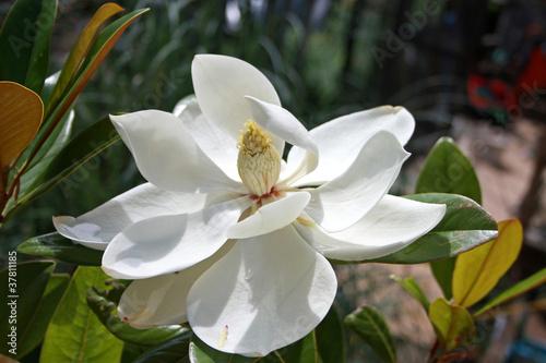 Deurstickers Magnolia Magnolia flower