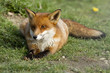 Red fox laid on grass