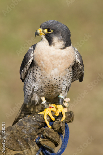 Peregrine Falcon in jesses against a muted background