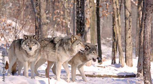 Tuinposter Wolf meutes de loups
