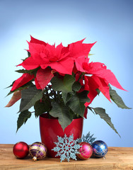 Beautiful poinsettia with christmas balls