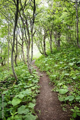 Tuinposter Weg in bos Pfad durch Birkenwald