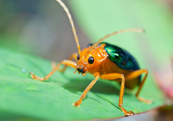 Bombardier Beetle (brachinus alternans)