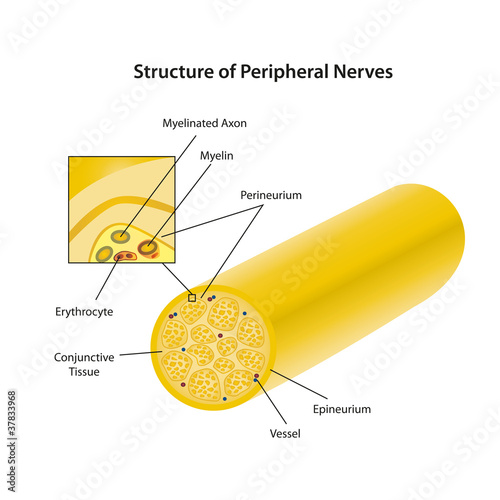 structure of peripheral nerves vector illustration