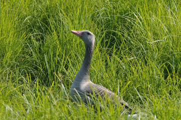 Grey Lag Goose (Anser a.) in the reed