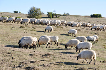 Flock of sheep at Urbasa range, Navarre (Spain)