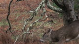 Whitetail deer buck rubbing branches poster