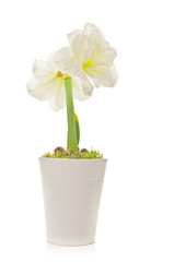 White Amaryllis (Hippeastrum Species)