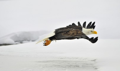 Flying Bald Eagle on snow covered background.