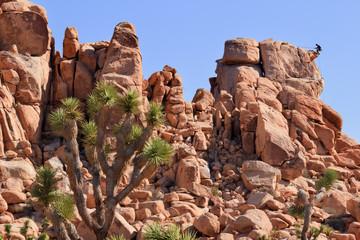 Rock Climb Yucca  Brevifolia Mojave Desert Joshua Tree National