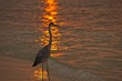 heron is on a sunset coast