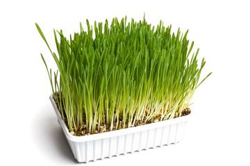 Gras - Frische
